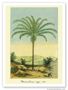 Hawaiian Vintage Botanical Print Hawaii Max Palms Tree | eBay