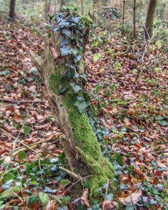 Trees die standing up... and giving life other species.  #meinuntersee #bodenseepage #erlebnisnatur   #trees #stump #tocón #Stumpf #moss #moos #musgo #hederahelix #ivy #hiedra #efeu  #LakeConstance #LagoDeConstanza  #Bodensee #Untersee  #Germany #Alemania#Deutschland  #kodakpixpro #kodak_photo #AZ362