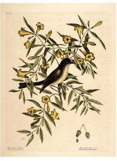 Animal-Bird-Catesby-52-Black-Capped-Flycatcher.jpg (2400×3300)