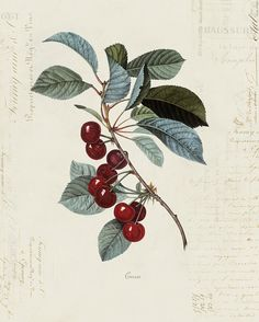 "Vintage Illustration Vintage Cherry ""Cerise"" on French Ephemera Print - //////////simple Vintage Botanical Prints, Botanical Drawings, Vintage Prints, Illustration Blume, Antique Illustration, Botanical Flowers, Botanical Art, Koch Tattoo, Natur Tattoos"