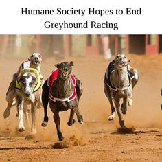 "From the End of the Leash: ""High Stakes"" – Humane Society Hopes to End Greyhound Racing http://petsintexas.org/from-the-end-of-the-leash-high-stakes-humane-society-hopes-to-end-greyhound-racing/"