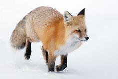 red_fox_yellowstone_3.jpg (920×617)