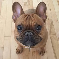 Charlie, French Bulldog Puppy❤