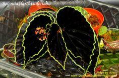 Avery Gardens: Begonia darthvaderiana