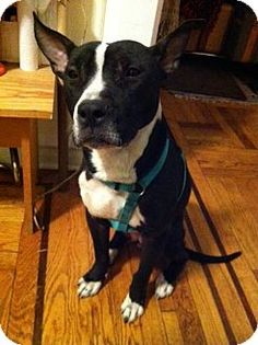 ●5•9•16 SL●Pit Bull Terrier Mix Dog for adoption in New York, New York - Lil'…