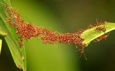 Now that's what you call teamwork. An army of ants join forces to bridge the gap between two leaves. The insects were snapped performing the stunt by photographer Yanuar Akbar, 38, from Jakarta, Indonesia.