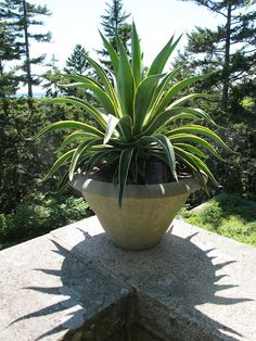 Potted agave