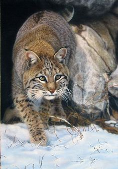 bobcat art | Bobcat Art My beauty!