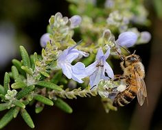 Rosemary is an excellent bee plant that helps the colonies the most critical period. It has large and prolonged flowering from September to May and bees honor, for his valuable pollen and nectar.
