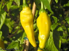 Lemon drop chili peppers are apparently making inroads into new cuisines because of their pleasant lemon flavor. This taste is similar to habaneros without the intense heat those peppers are primarily known for. Worlds Hottest Chilli, Hottest Chili Pepper, Veg Garden, Edible Garden, Tomato Cultivation, Chilli Plant, Different Types Of Vegetables, Recipes, Vegetables Garden