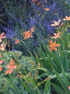 Blackberry Lilies with Russian Sage and sedum, plant combo