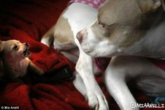 Role model: Her calm and kind nature makes Cher the perfect foster mom to other rescue dog... http://dailym.ai/1mJZaCb#i-ae100e99