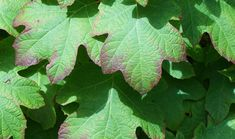 HYDRANGEA LEAVES TURNING PURPLE – WHATS THE PROBLEM ?