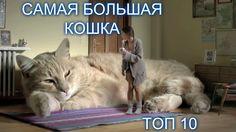САМЫЕ БОЛЬШИЕ КОШКИ В МИРЕ. ТОП 10. САМЫЕ КРУПНЫЕ ПОРОДЫ КОТОВ. Какую кошку выбрать. огромные кошки.СМЕШНЫЕ КОШКИ. THE BIGGEST CATS IN THE WORLD. TOP 10. THE LARGEST BREED OF CATS.