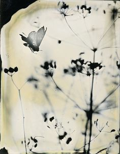 Heather F. Wetzel, photogram, wet-plate collodion