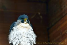 Falco Pellegrino by Welbis Pestana on Peregrine Falcon, My Animal, Birds, Animals, Animales, Animaux, Peregrine, Bird, Animal Memes
