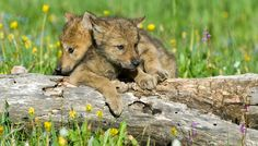 Urgent: Say something today! killing wolf pups would be encouraged by a state government. The state of Wyoming is openly discussing taking dogs from a dog pound to the backcountry, staking them dead or alive until wolves arrive, and then killing the wolves on sight. & it would be perfectly legal in most of the state. Wolves are a part of a fully functioning ecosystem.