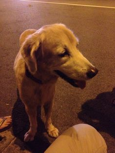 Found Dog - Golden Retriever wearing a red collar http://www.lost-paws.org/listings/show-ad/740/Golden-Retriever-wearing-a-red-collar-/Found-Pets/ #singapore #pet