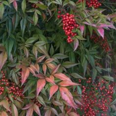 Shrubs nandina domestica background - Nandinas need pruning every year in order to produce a round, bushy shrub. Without proper pruning they appear top-heavy and bare at the bottom. Small Garden Shrubs, Large Backyard Landscaping, Landscaping Tips, Garden Plants, Farmhouse Landscaping, Bamboo Landscape, Landscape Design, Landscape Plans, Amazing Gardens