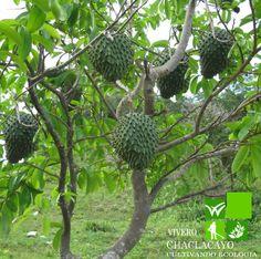 Guanábana (Annona muricata)