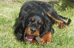 My hivie 4 months Gordon Setter, Funny Animals, Pup, Things To Come, 4 Months, Doggies, Hunting, Nerd, Treats