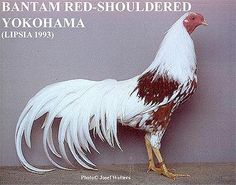 Yokohama Chickens - Google Search No it isn't a tire it's a chicken breed.