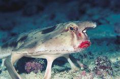 3. Le red-lipped batfish (poisson chauve-souris option rouge à lèvres)