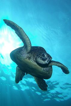 """drxgonfly: """" Out of the Sun - crop 1 (by BarryFackler) """" Underwater Creatures, Ocean Creatures, Animals Beautiful, Cute Animals, Wild Animals, Cute Turtles, Sea Turtles, Kawaii Turtle, Turtle Love"""