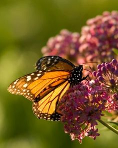 WildOnes:  Wild for Monarchs - What can you do to help?