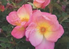 Looking to fill your garden with fragrance this spring? Check out this list of fragrant favorites from Total Landscape Care. Brite Eyes #roses