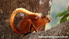 Japanese Giant Flying Squirrel | Recent Photos The Commons Getty Collection Galleries World Map App ...