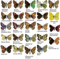 All British butterflies except the ones whose caterpillars eat the cabbages but then - live and let live if you can! Butterfly Kids, Butterfly Crafts, Monarch Butterfly, Color Palette From Image, Butterfly Identification, Butterfly Species, Butterfly Illustration, British Wildlife, Nature Journal