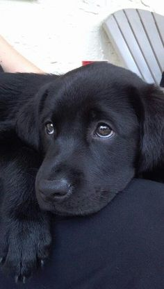 """Adorable Labrador Retriever Puppies You've Ever Seen"""" Not much is cuter than a black lab puppy (well, and GSD puppies, too). Black Lab Puppies, Cute Puppies, Cute Dogs, Dogs And Puppies, Doggies, Poodle Puppies, Funny Dogs, Animals And Pets, Baby Animals"""