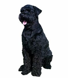 The #BlackRussianTerrier is a smart and intelligent dog that is very protective of its family. They are fearless, courageous protectors and are very social and friendly. Black Russian Terriers need moderate daily exercise in the form of walks or games. They can be stubborn and independent and can be aggressive towards dominant or strange dogs.