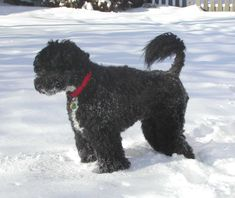 Portugueuse_Water_Dog_in_snow_(by_challkhmc).jpg (JPEG Image, 1621 × 1363 pixels) - Scaled (46%)