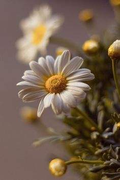 Daisy- flower of the month April