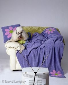 Couch Poodle 16x2011x148x10 print by DavidLangley on Etsy