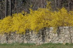 Forsythia, herald of spring. I love the way the branches of this forsythia spill over the wall. It's a wild, exuberant look. Here's how to grow forsythia shrubs: http://landscaping.about.com/cs/shrubsbushes/p/forsythia.htm