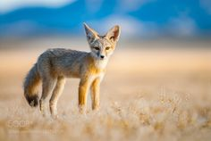 Kit Fox by jjsims #animals #animal #pet #pets #animales #animallovers #photooftheday #amazing #picoftheday