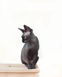 Like A Statue Odessa The Solid Black Sphynx Cat Catsprayingapplecider Sphynx Cat Rex Cat Cat Adoption