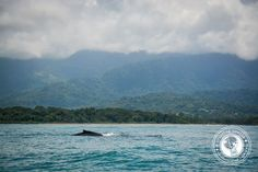 Humpback Whale Watching Costa Rica: An experience all should have! Paradise Travel, Tropical Paradise, Adventure Tours, Adventure Travel, Travel Around The World, Around The Worlds, New Travel, Travel Tips, Costa Rica Travel