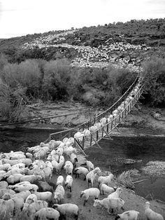 sheep, sheep, and more sheep