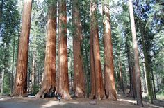 The Redwoods and the Sequoias: Our visit to Sequoia and Kings Canyon National Park Sequoia National Park, Us National Parks, Sequoiadendron Giganteum, Luanna, Old Trees, Big Tree, California Travel, Evergreen, State Parks