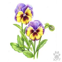 """Latest Photographs Pansies drawing Ideas Pansies will be the colorful flowers with """"faces."""" A cool-weather favorite, pansies are ideal fo Watercolor Cards, Watercolor Flowers, Watercolor Paintings, Drawing Flowers, Illustration Botanique, Botanical Illustration, Blue Lotus Flower, Flower Art, Art Floral"""
