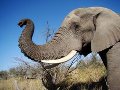 Elephants understand what it means when you point at stuff African Bush Elephant, Asian Elephant, Elephant Love, Elephant Head, Elephant Trunk Up, Large Animals, Animals And Pets, Baby Animals, Cute Animals
