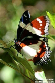 Clouded Mother-of-Pearl butterfly, Madagascar Butterfly Effect, Butterfly Kisses, Butterfly Flowers, Beautiful Bugs, Beautiful Butterflies, Flying Flowers, Moth Caterpillar, Flying Insects, Butterfly Pictures