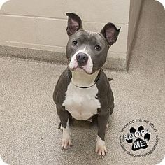 Pictures of Zena a Pit Bull Terrier for adoption in Troy, OH who needs a loving home.