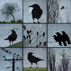"""June Hunter (@junehunterimages) on Instagram: """"Crows for all occasions. Available as prints, tiles, wood panels. #crows #junehunterimages #blue…"""""""
