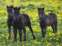 Three Shetland pony foals by Frances Taylor.