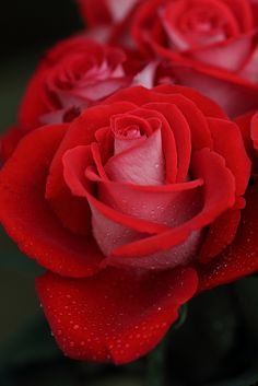 I think I love red roses , because they are so vibrant in color and they speak so loudly .